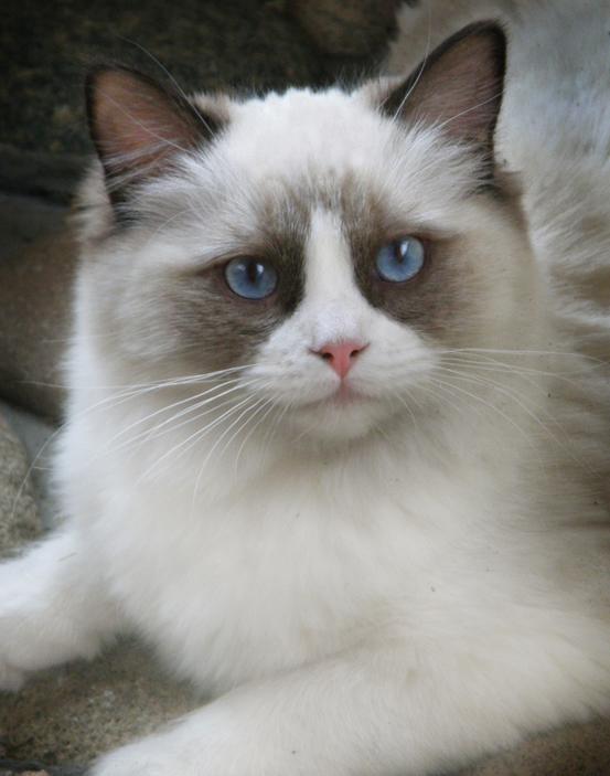 Ragdoll kittens denver